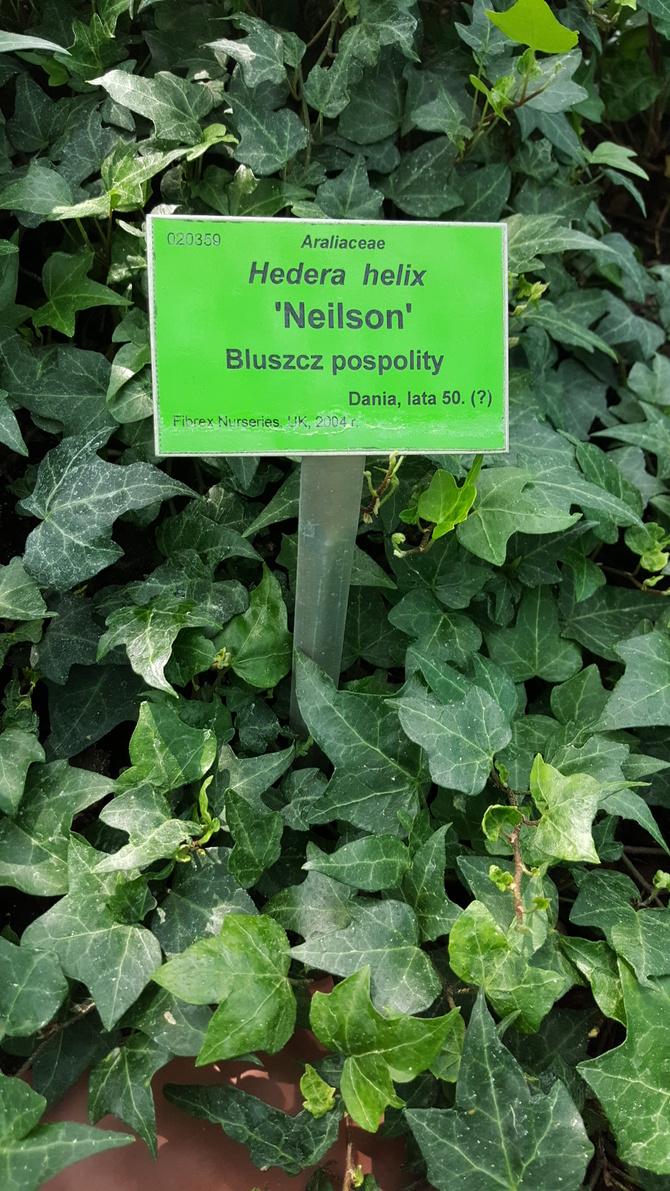Hedera Helix 'Neilson'