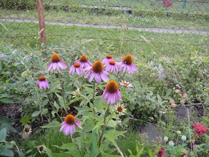 jeżówka purpurowa