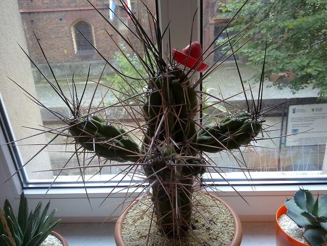 Kaktusik na parapecie.
