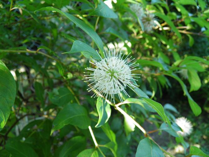 kwiat guzikowca