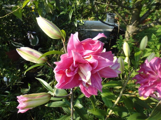 Mój rarytasik...pełna lilia-różowa