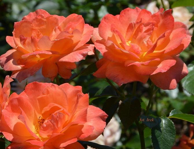 Na Mazowszu kwitną jeszcze róże