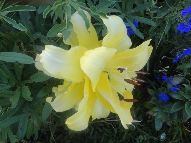 żółta pełna