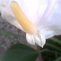 Anturium Andreego białe