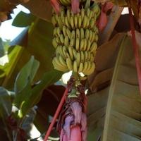 Banany i ich kwiat
