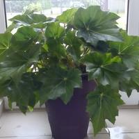 Begonia gigantea