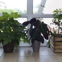 Begonia, kalatea, szeflera, fikus i wilczomlecz