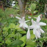 Białe kwiaty hosty