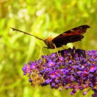 Budleja rządzi wśród owadów