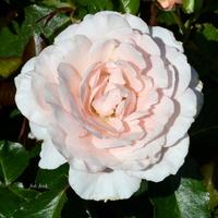 Delikatna róża na spokojne sny