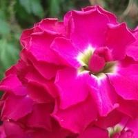 Floksy i inne różowe