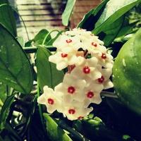 Hoja  kwitnienie
