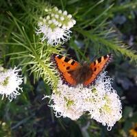 jak motylki to motylki