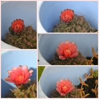 Kolejny kwiatek na gmnocalycium