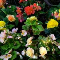 Kolorowe begonie