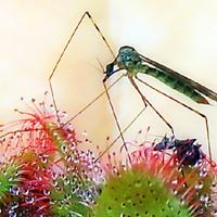 Komar złapany przez rosiczkę