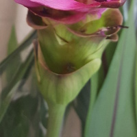 kwiat kurkumy