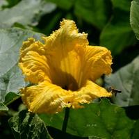 Kwiat warzywny