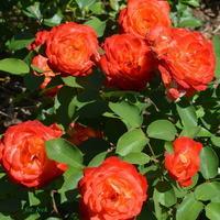Kwitną jeszcze róże