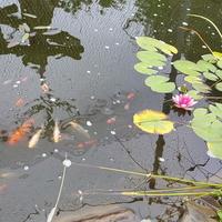 lilie wodne i karasie