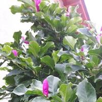 Magnolia (Susan)
