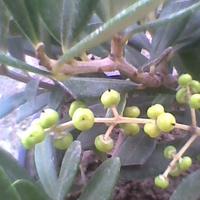 Oliwka europejska (Olea europaea) owoce rosną