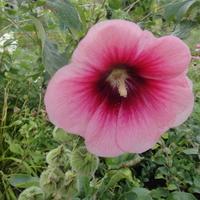 ostatnie kwiaty malwy różowej.....