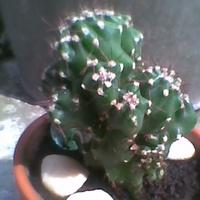 PAŁCZAK Cereus peruvianus Var Monstruosus