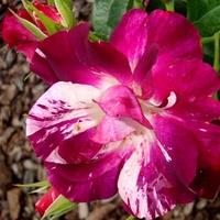 Róża  N N.  ☺