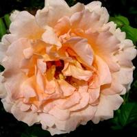 Róża  N N .