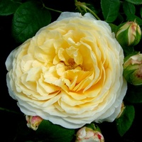 Róża  N N.