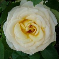 Róża - ' Glowing - Dalpellerin '.