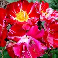Róża - ' Hanabi - Werkroalt ' .