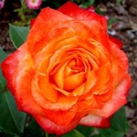 Róża ' Macgoofy