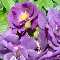 Róża ' Rapsody in blue ' - ' Fantasia '.