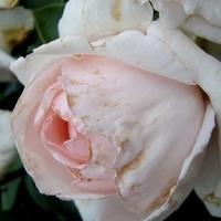 Róża Andre De Notre - ' Meiceppus '.