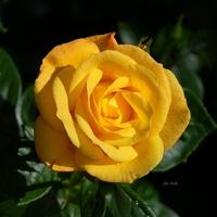 Róża dla każdej Pani z galerii