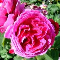 Róża Othello ' Auslo '.