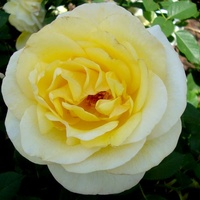 Róża Stockholm ' Poulcas033 '.