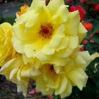 Róża - Twist ' Poulstri '.