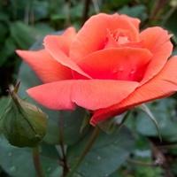 Róże jeszcze kwitną.