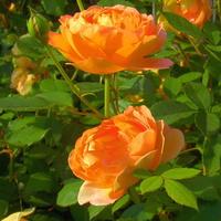 Róże w centrum ogrodniczym