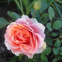 różowa królowa