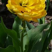 Spóźnialski tulipan pełny
