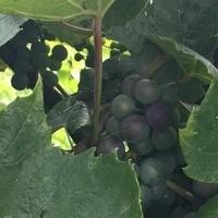 Winogrono pięknie rośnie :)