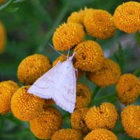 Wrotycz z motylem nocnym
