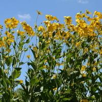 Wysokie kwiaty na wietrze.