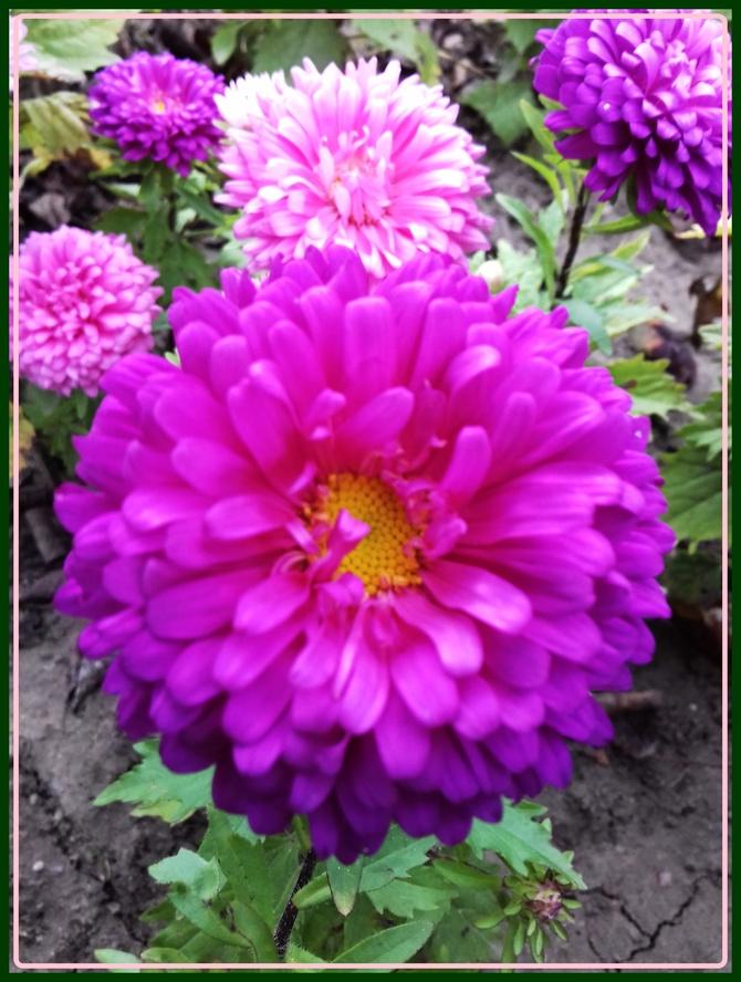 Astry kwiaty jesieni.