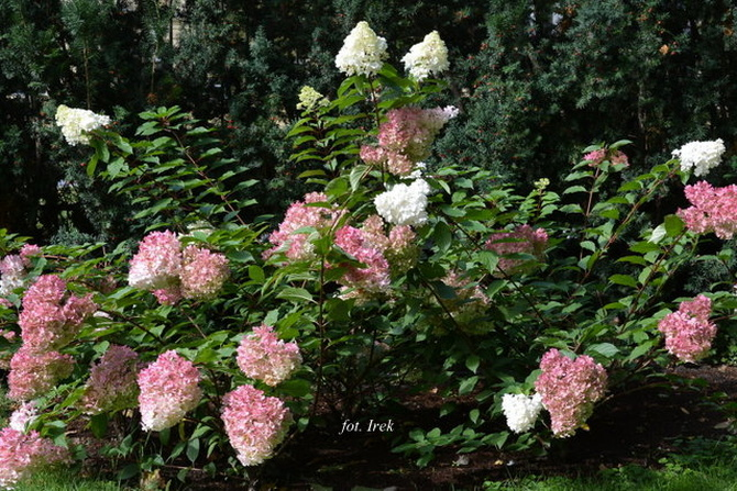 Hortensja kolorowa