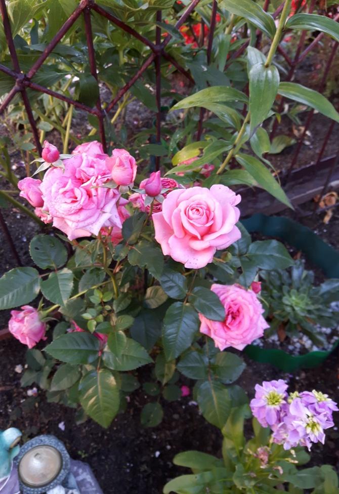 Różyczki na różowe sny.:)